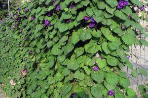 Вьющиеся растения и забор из сетки
