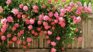 Декорирование дешевого ограждения вьющимися цветами