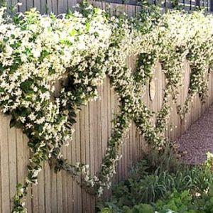 Красивое деревянное ограждение с вьющимися цветущими растениями