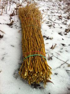 Заготовка прутьев для плетения